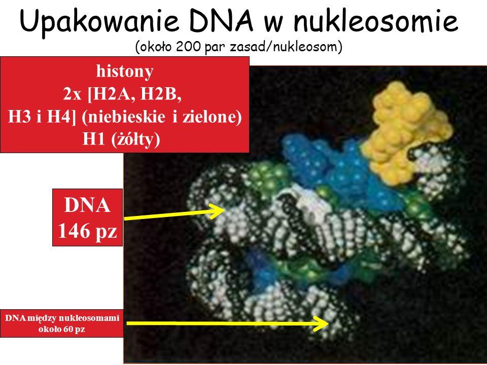 H3 i H4] (niebieskie i zielone) DNA między nukleosomami